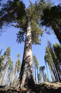 Giant Sequioa at Mariposa Grove