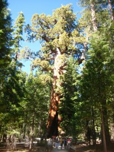 the most famous Giant Sequioa at Mariposa Grove