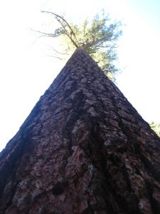 Giant Sequioa at Mariposa Grove from below