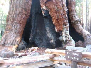 "bottom part of the ""faithful couple"" giant sequoia trees"