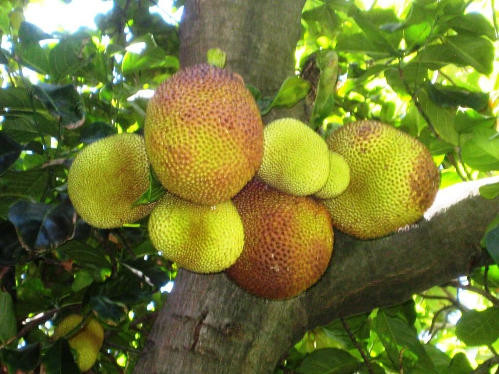 Jackfruits at the tree in the Foster Botanical Garden in Honolulu
