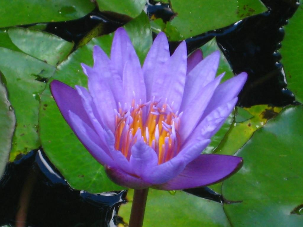Nymphaea blossom in a pond in Lyon Arboretum