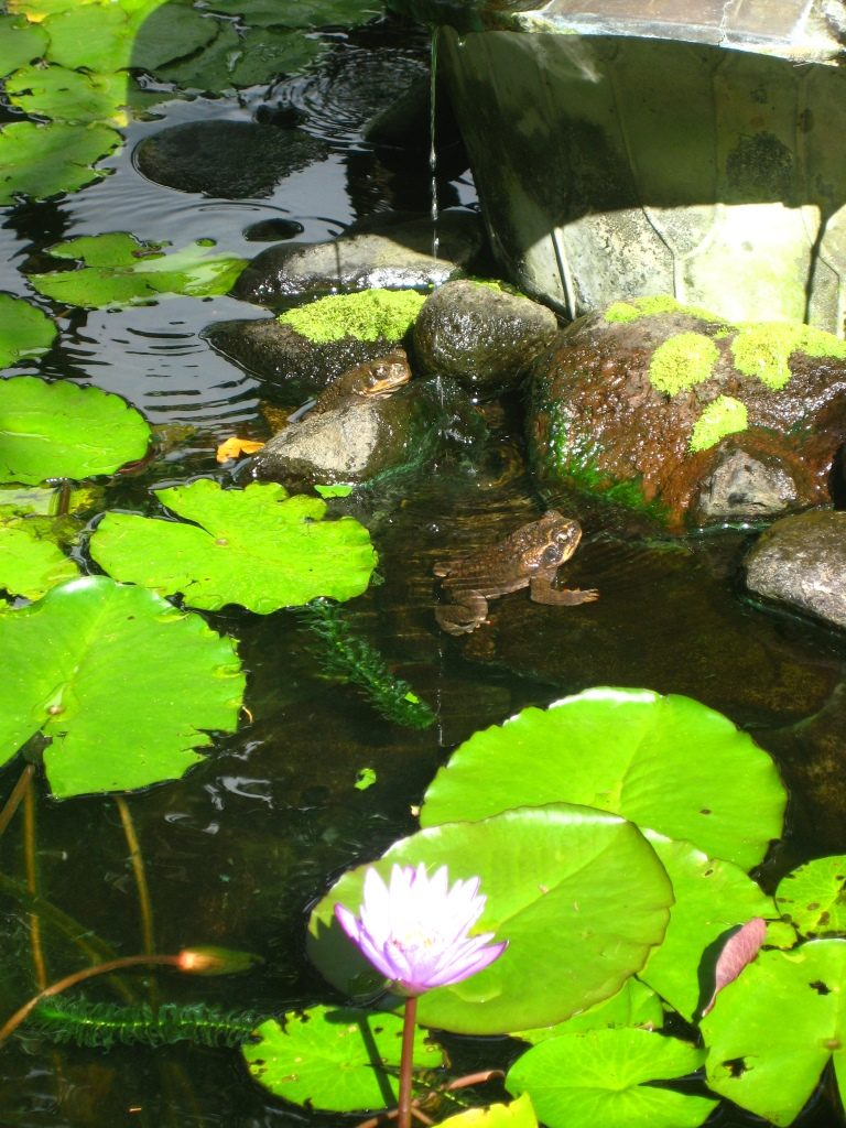 frogs and nymphaea in a small pond in the Lyon Arboretum