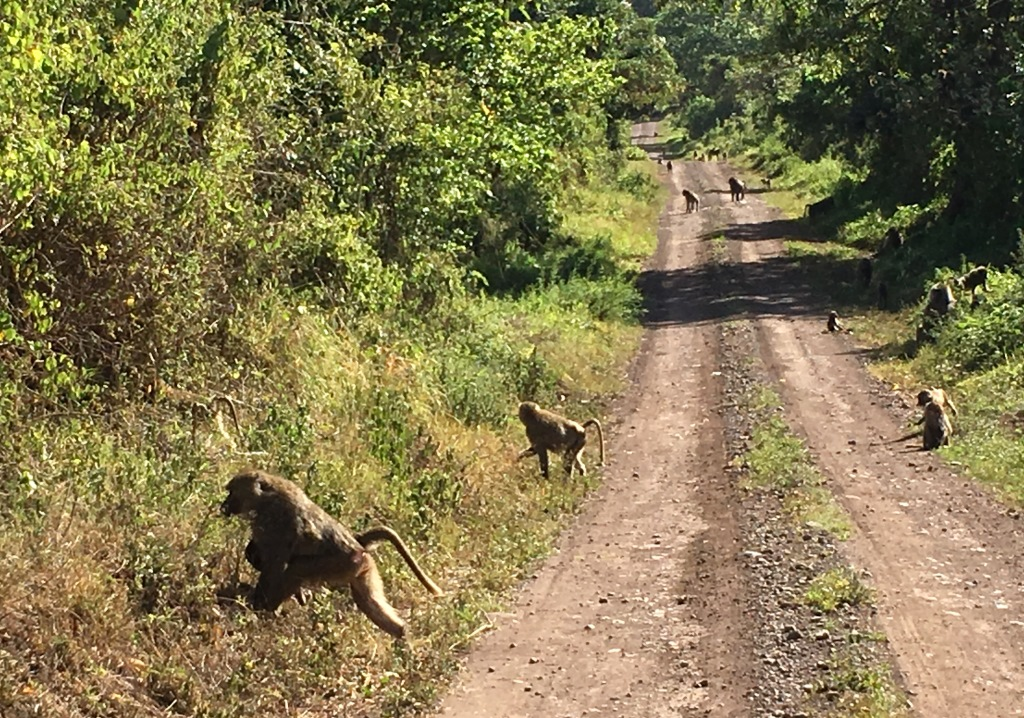 Baboons at the side of the road