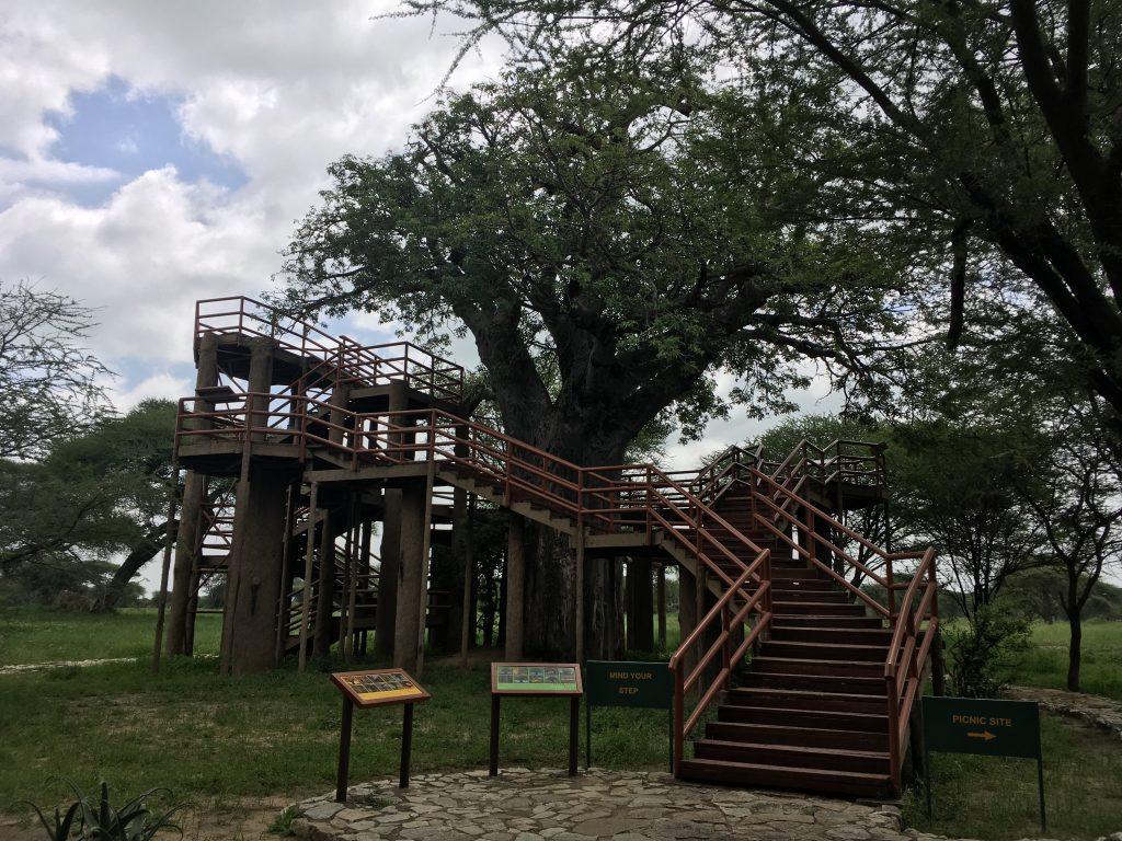 Baobab at Tarangire entrance