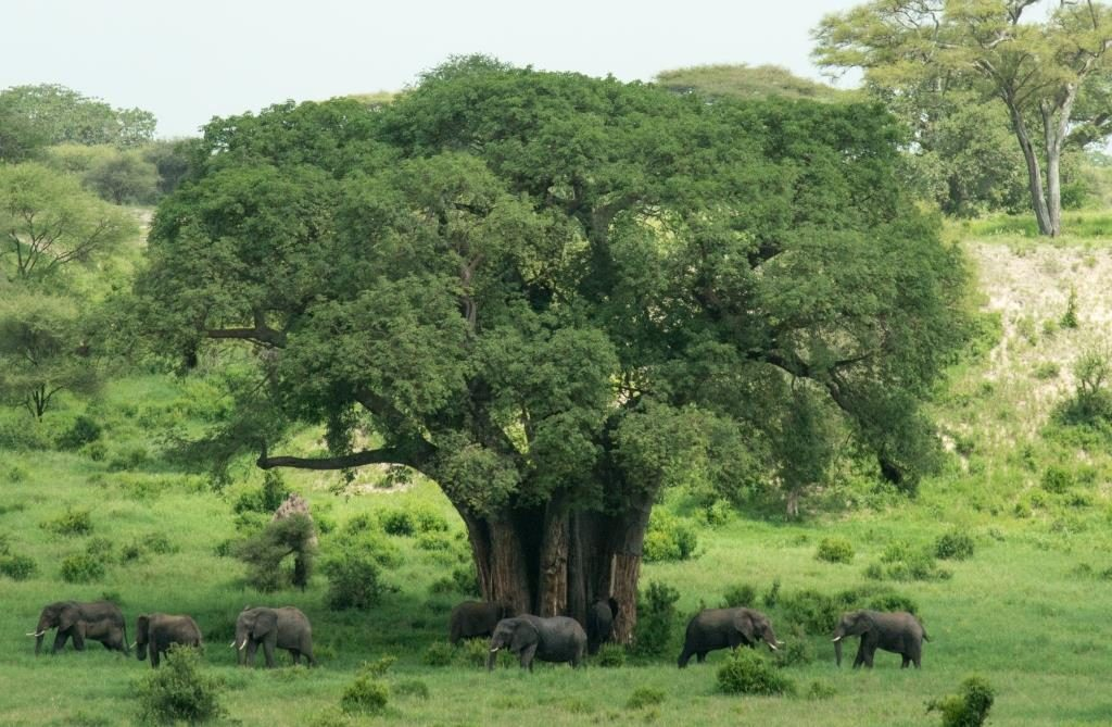 Baobab with elephants