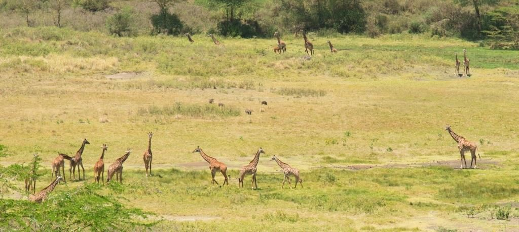 Giraffes at Arusha Ntional Park