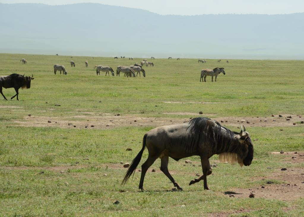 Gnus at Ngorongoro