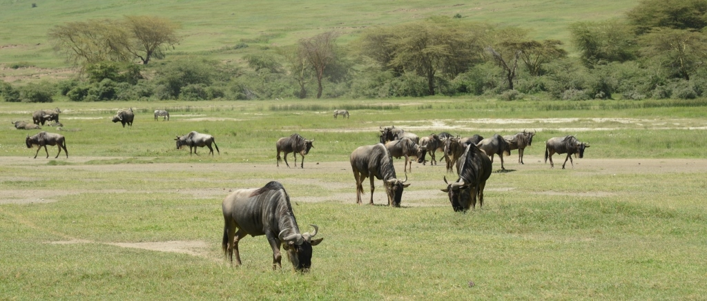 Gnus and Zebras at Ngorongoro caldera