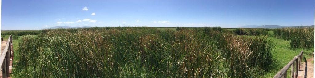 reed at Lake Manyara