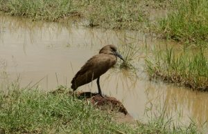 hamerkop bird (Scopus umbretta)