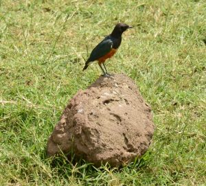 Superb starling at Ngorongoro