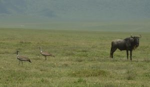 2 Kori bustards – The world's heaviest flying bird