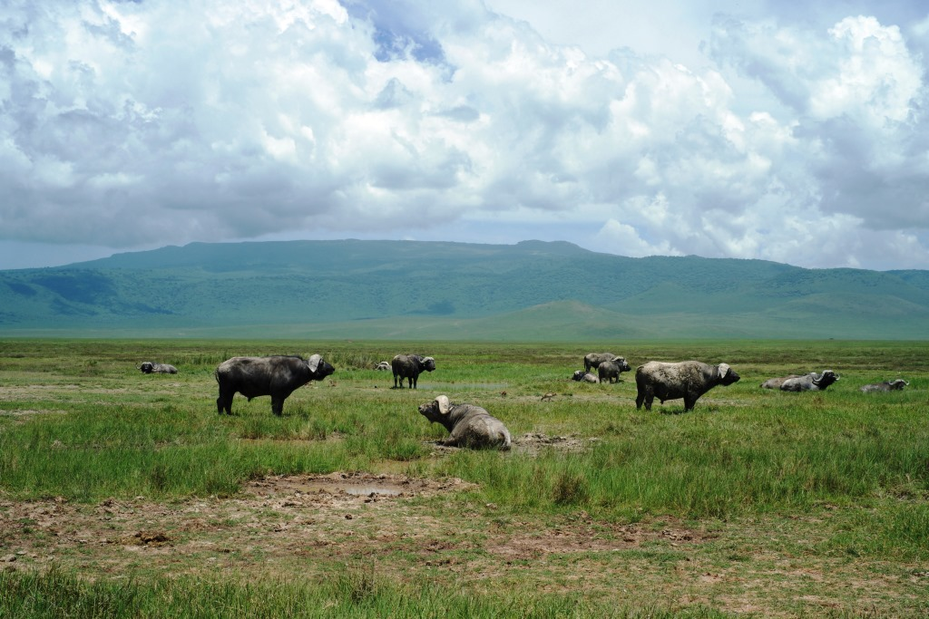 Buffalos at Ngorongoro