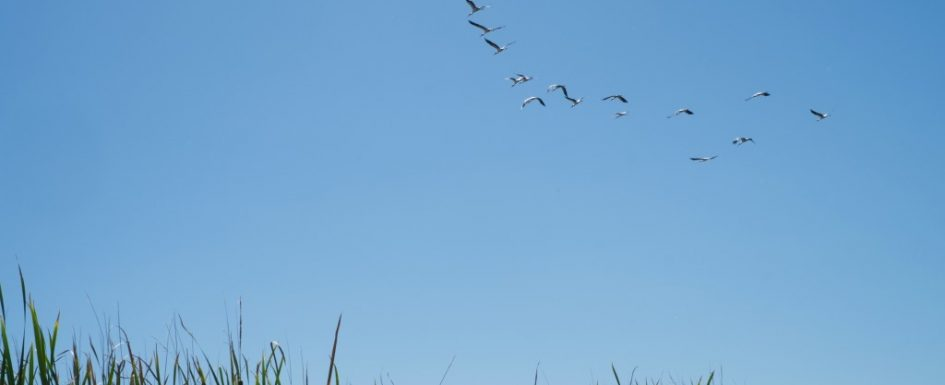 cranes at lake Manyarane