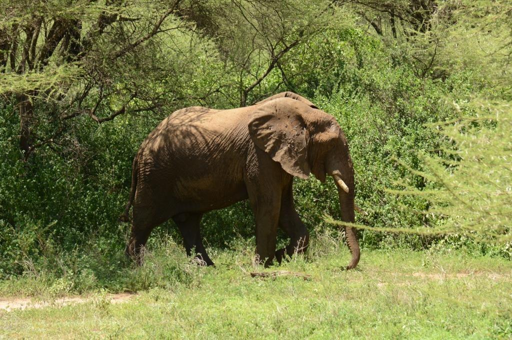 elephant at Lake Manyara