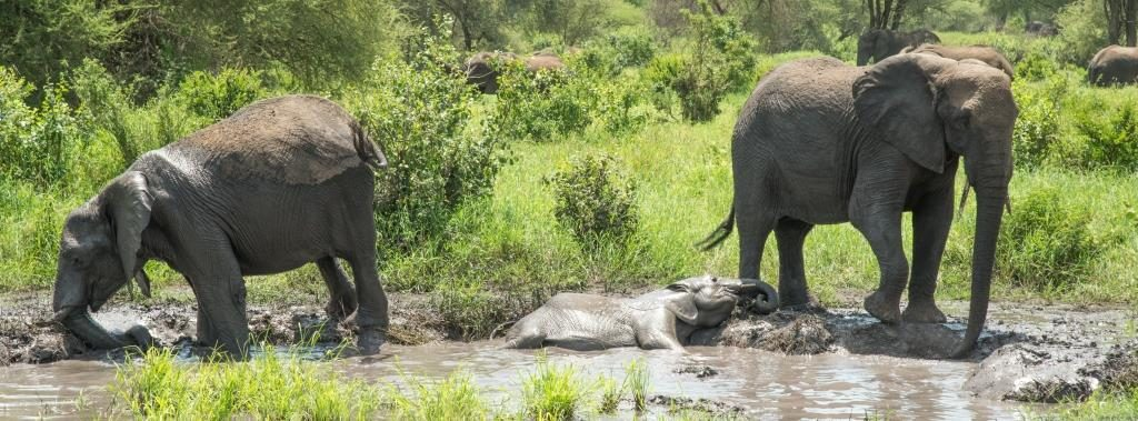 elephants in mud bath