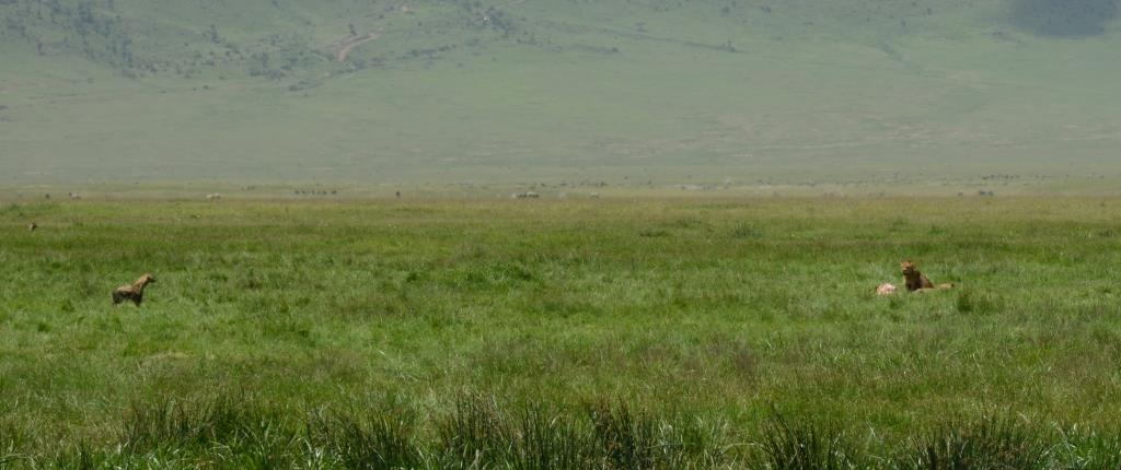 lions and hyenas at Ngorongoro