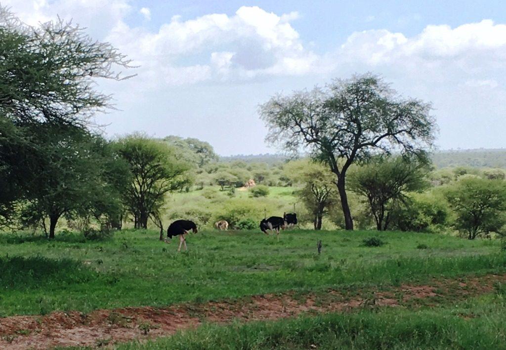 ostrichs at Tarangire