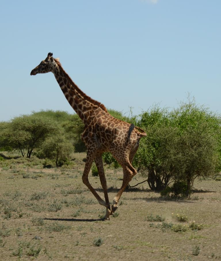 giraffe, running