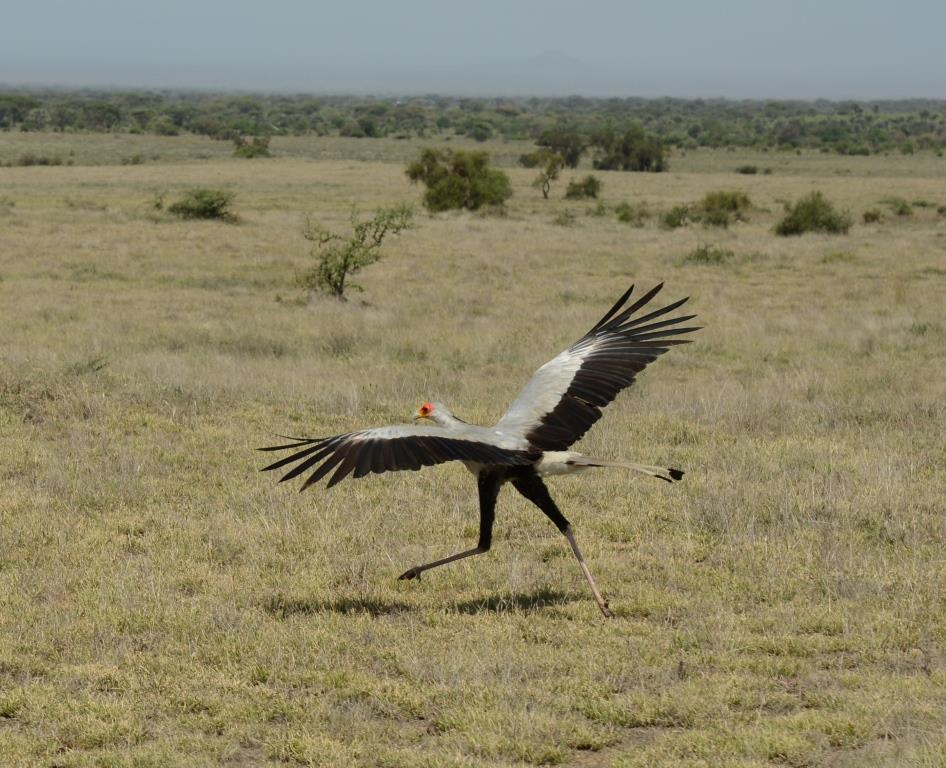 secretary bird, flying