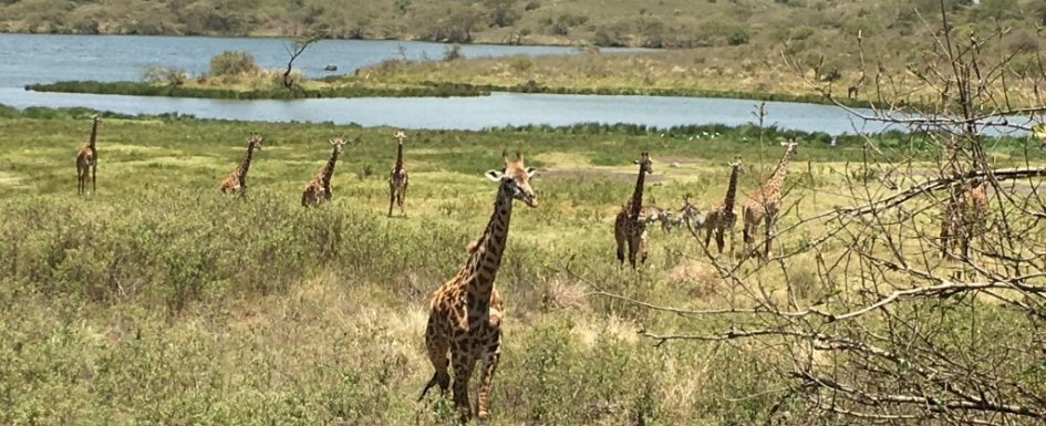 momella lake and meadow with giraffes