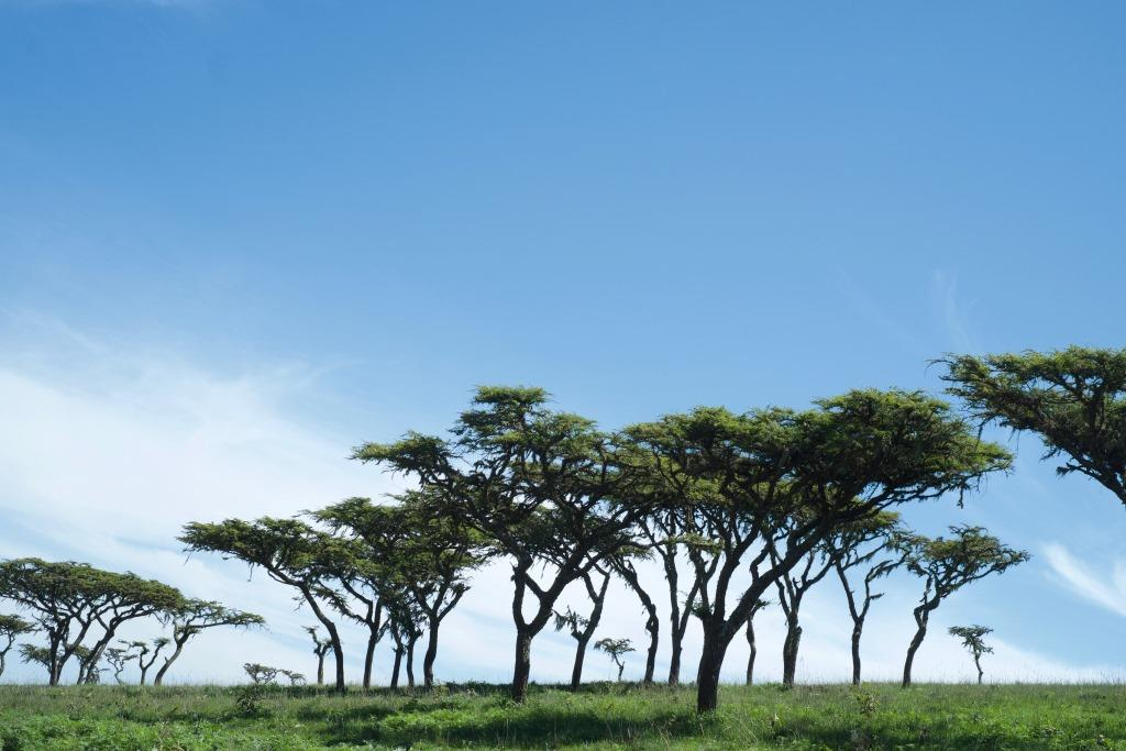 Trees at Ngorongoro