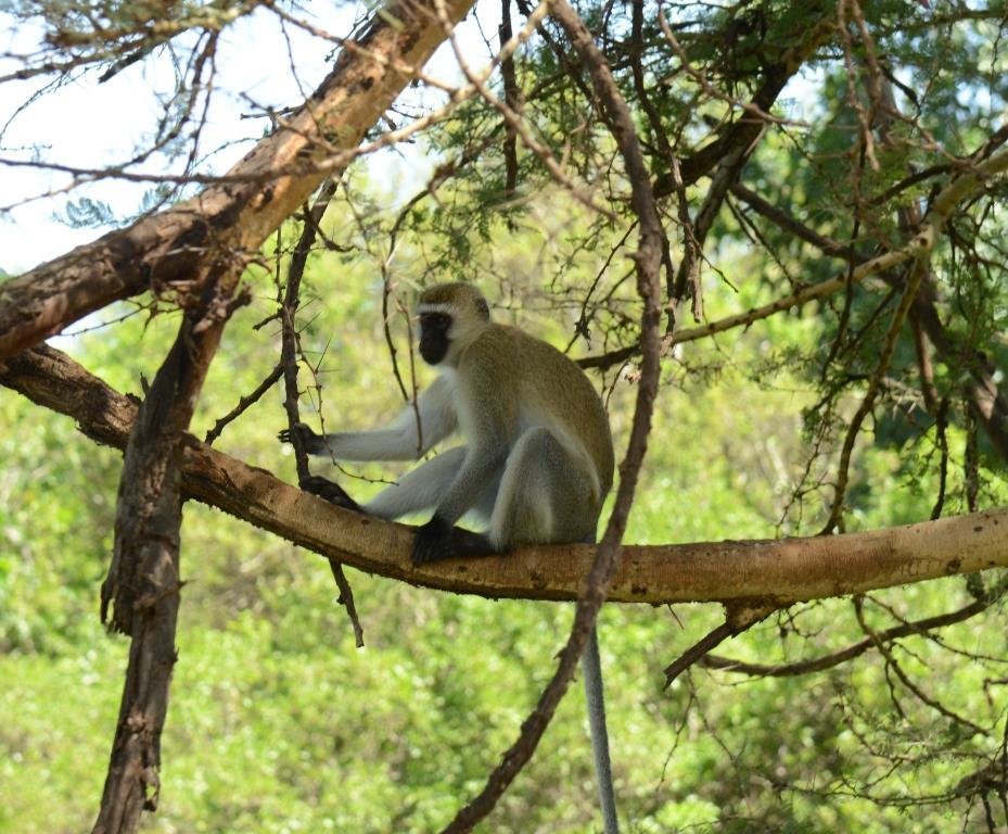 velvet monkey