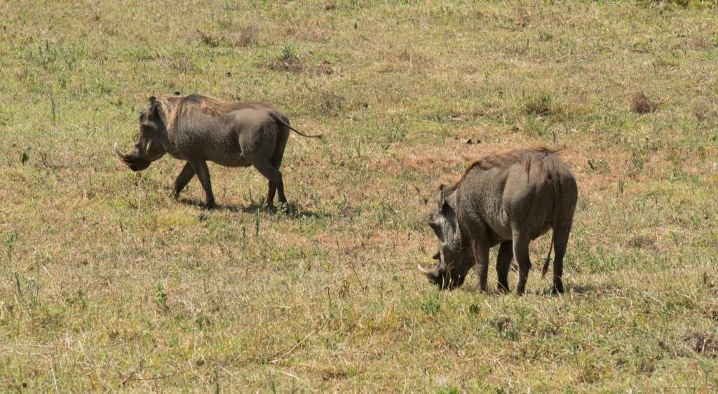 warthogs at Arusha NP