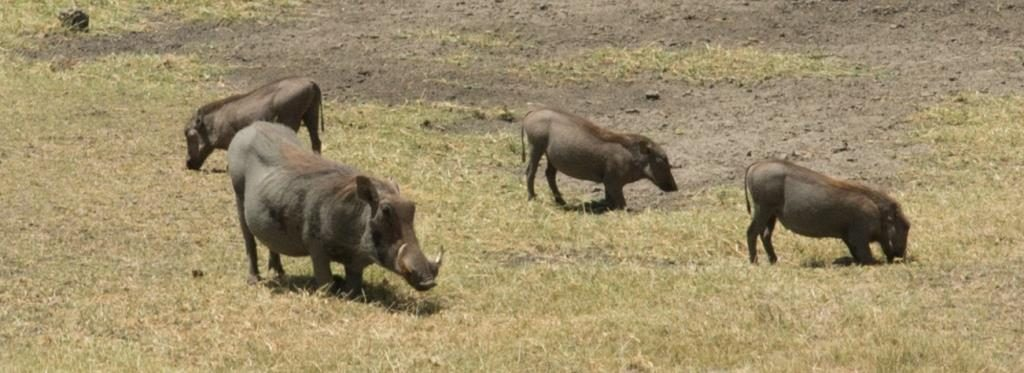warthogs on meadow