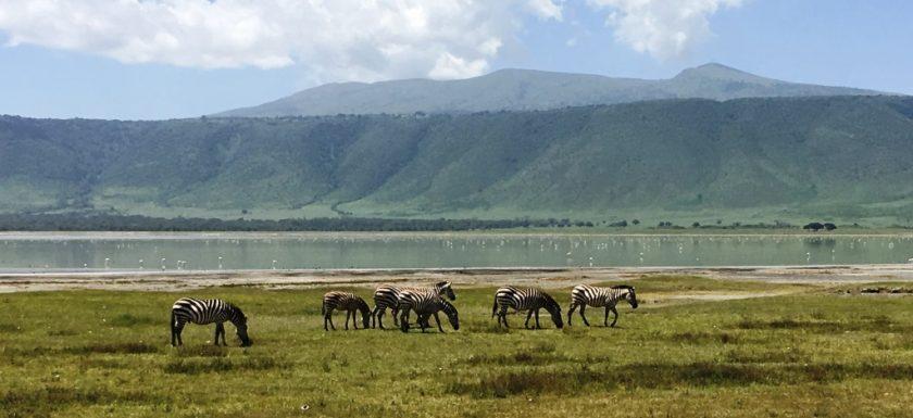 zebras in landscape