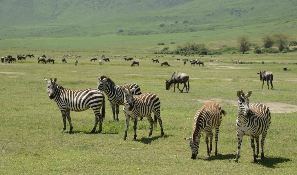 zebras and herds of other animals