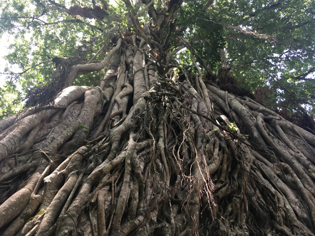 big fig tree