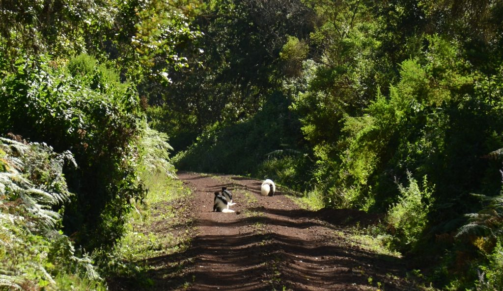 black and white colobus monkeys on the road