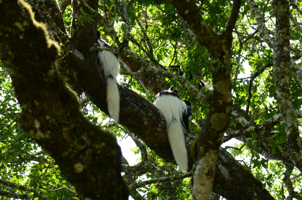 black and white colobus monkeys