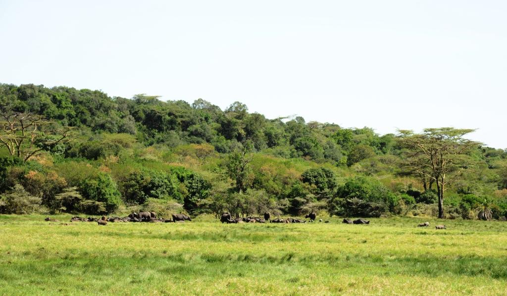 Buffalos in Arusha NP