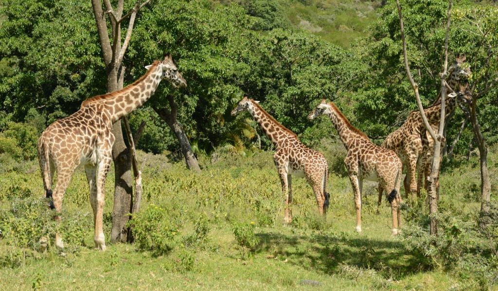 Giraffes at Arusha NP