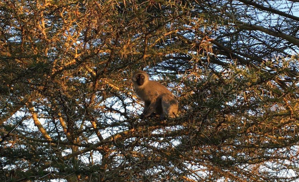 monkey at Hatari