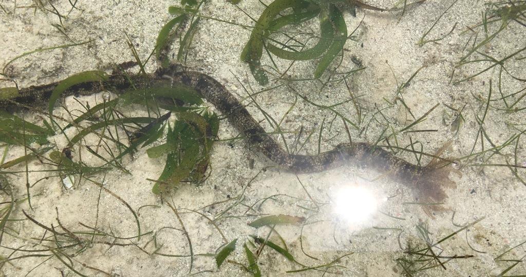 Synaptula maculata - strange sea cucumber species