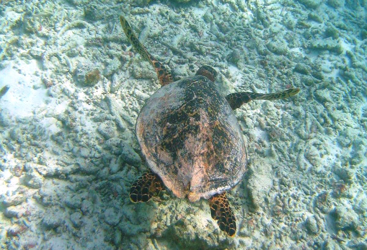 turtle at Fihalhohi reef