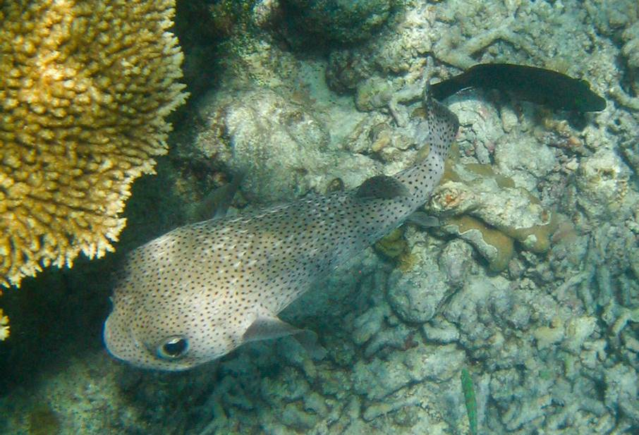 black dot porcupinefish