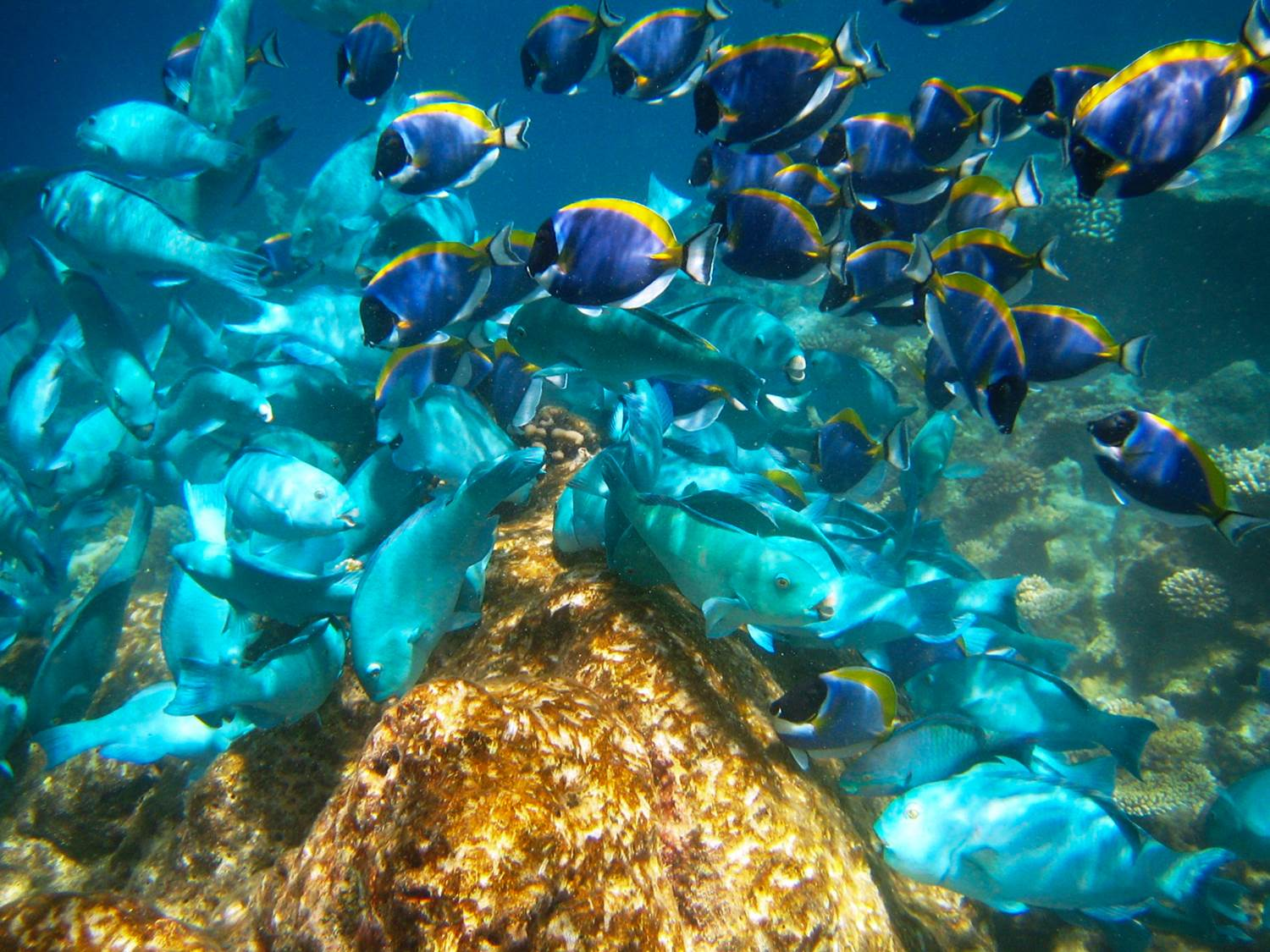 more surgeonfish and parrotfish
