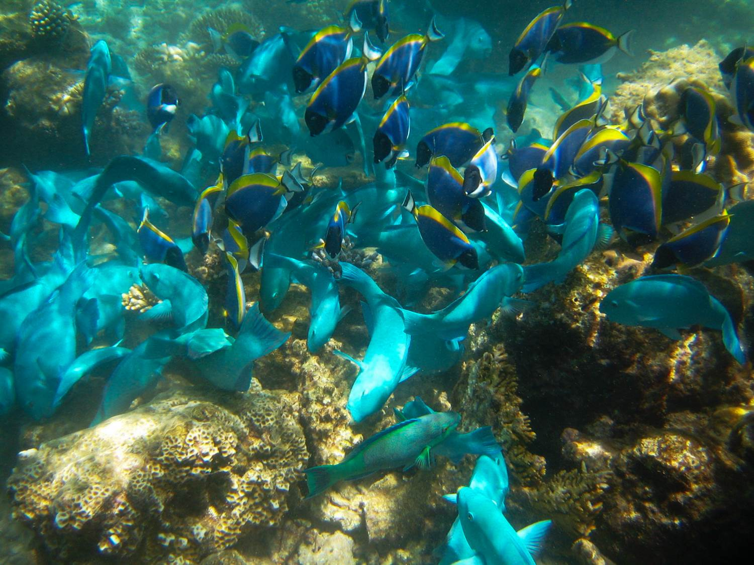 surgeonfish and parrotfish