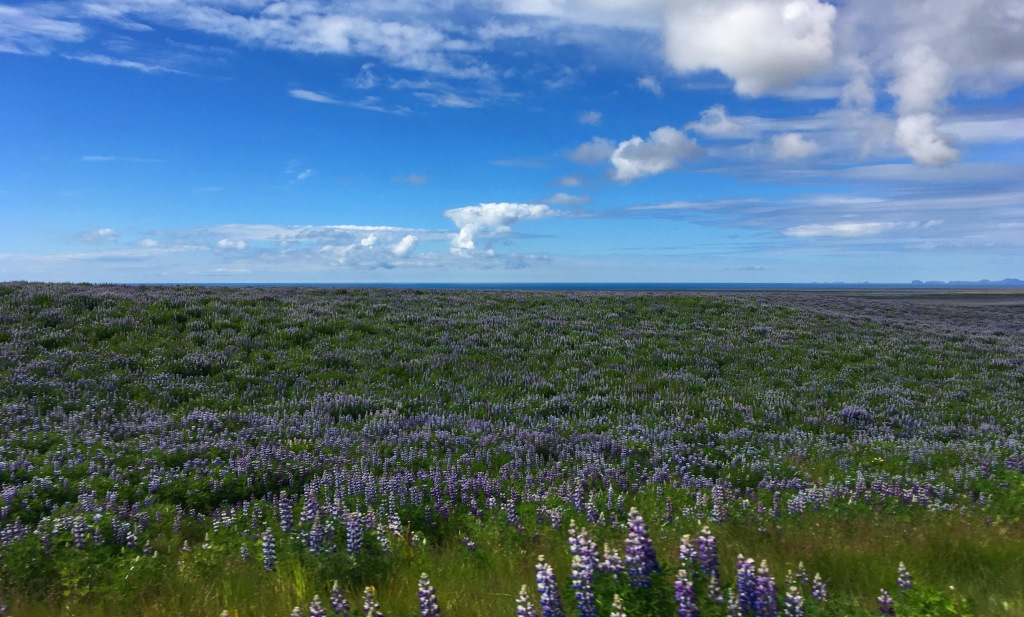 meadow of lupins